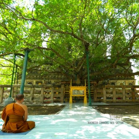 Bodhi Tree inside Mahabodhi Temple Complex in Bodh Gaya with Distant shot of The Famous Peepal Tree
